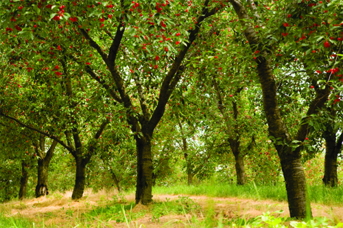 Where cherry wine comes from.